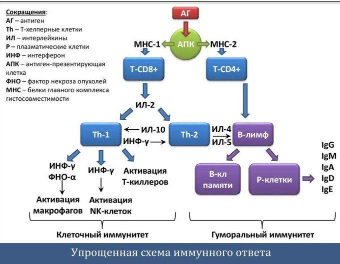 Упрощенная схема иммунного ответа организма на инфекцию