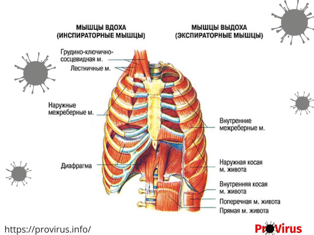 Схема мышц участвующих в дыхании человека