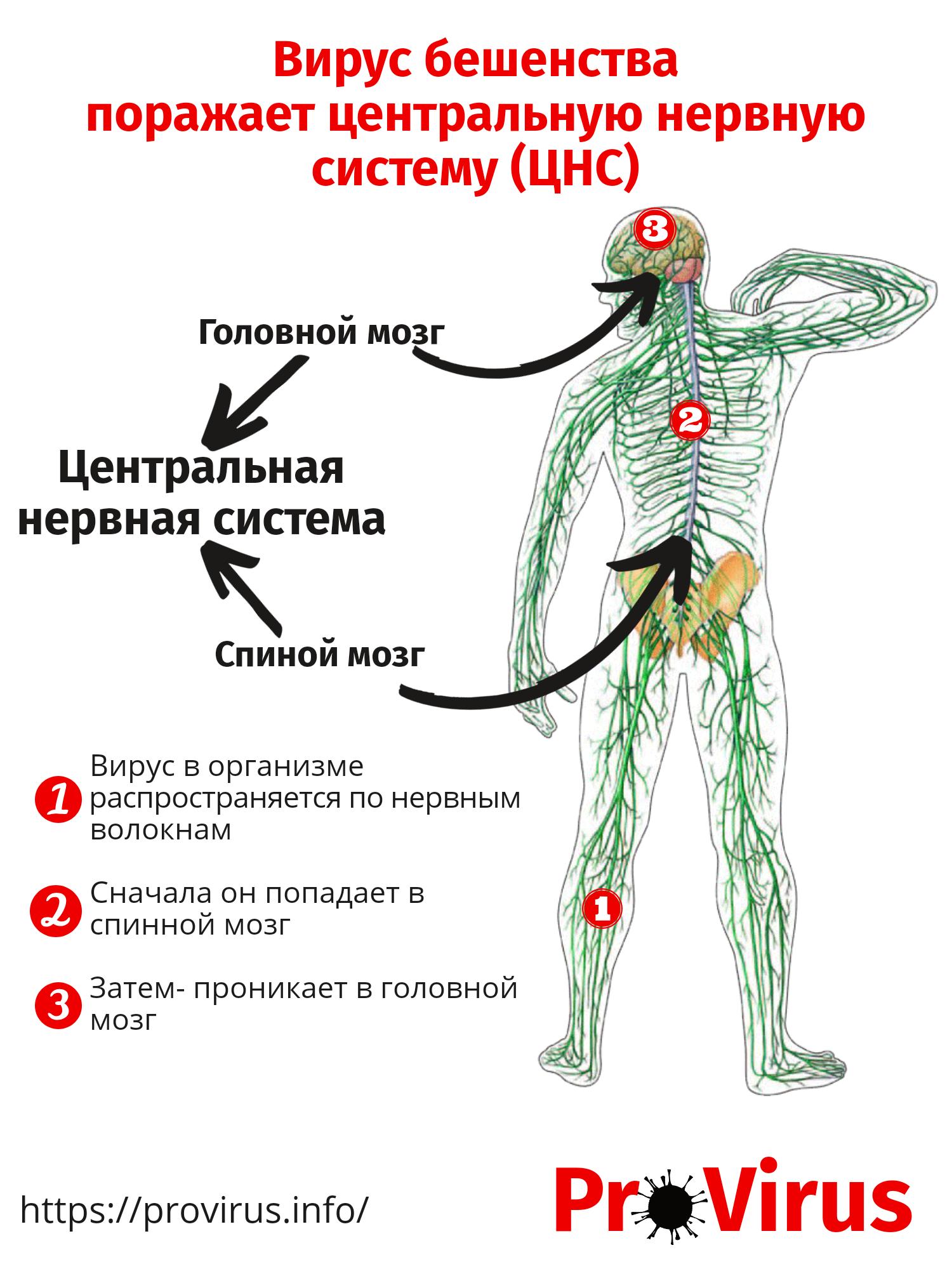 Схема поражения центральной нервной системы вирусом бешенства